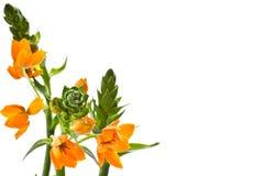 Ornithogalum Dubium flowers Royalty Free Stock Image