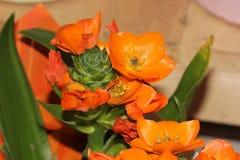 Ornithogalum dubium, pomarańcze gwiazda, słońce gwiazda Zdjęcie Royalty Free