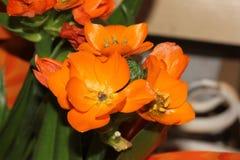 Ornithogalum dubium, pomarańcze gwiazda, słońce gwiazda Zdjęcia Royalty Free