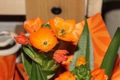 Ornithogalum dubium, pomarańcze gwiazda, słońce gwiazda Fotografia Stock