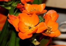Ornithogalum dubium, pomarańcze gwiazda, słońce gwiazda Obrazy Royalty Free
