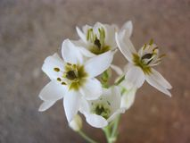 Ornithogalum flowering - A majestic look stock photography