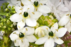 Ornithogalum flowers Stock Photo