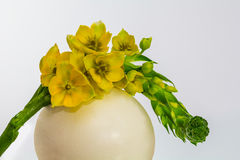 Ornithogalum. Milk star nestles on an ostrich egg Royalty Free Stock Images