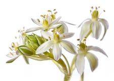 Ornithogalum spring flower Royalty Free Stock Image
