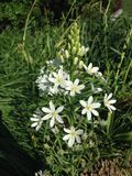 Ornithogalum Thyrsoides Flower In Battery Park. Royalty Free Stock Image