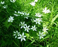 Ornithogalum Umbellatum- 6 звезд цветка лепестка Вифлеема, белых цветков Стоковое фото RF