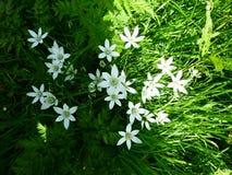 Ornithogalum Umbellatum- 6 звезд цветка лепестка Вифлеема, белых цветков Ornith Стоковые Изображения RF