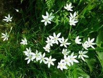 Ornithogalum Umbellatum- Six petal flower- Star of Bethlehem, white flowers. stock photo