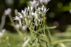 Ornithogalum umbellatum grass lily in bloom, small ornamental and wild white flowering springtime plant royalty free stock image