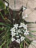 Ornithogalum umbellatum or Grass lily or Nap-at-noon or Eleven o`clock lady or The garden star-of-Bethlehem flowers. Royalty Free Stock Photography