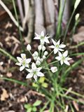 Ornithogalum umbellatum or Grass lily or Nap-at-noon or Eleven o`clock lady or The garden star-of-Bethlehem flowers. Royalty Free Stock Photo