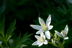 Ornithogalum umbellatum (Star-of-Bethlehem, Grass Lily Stock Photo
