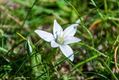 Ornithogalum white flower in grass on spring day royalty free stock photos