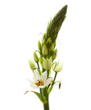 Ornithogalum Royalty Free Stock Images