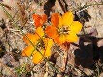 Ornithogalums anaranjados Imagen de archivo libre de regalías
