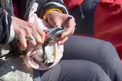 Ornithologe beringtes murre und Attachéc$jps-blockwinde Lizenzfreies Stockbild