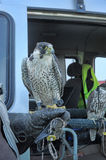 Ornithological Service Pulkovo Airport. St. Petersburg, Russia Royalty Free Stock Photography