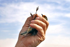 Ornithologist shows the ring on foot robins (lat. Erithacus rube Royalty Free Stock Photography