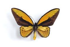 ornithoptera croesus стоковые фото