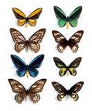 Ornithoptera (panel) Stock Photography