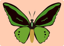 Ornithoptera paradisea Royalty Free Stock Images
