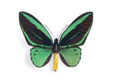 Ornithoptera priamus Stock Photo