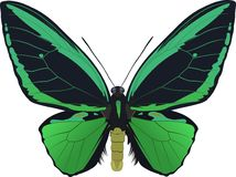 ornithoptera priamus 库存图片