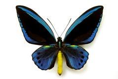 Ornithoptera priamus urvilleanus stock images