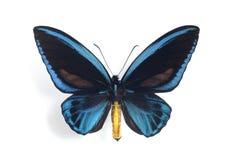 Ornithoptera priamus urvillianus Stock Image