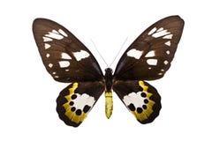 Ornithoptera rothschildi lizenzfreie stockbilder