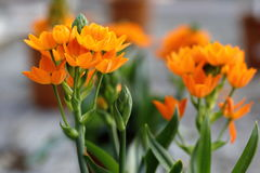 Ornitogallo flower. Colorful ornithological flowers are blooming Royalty Free Stock Images