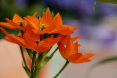 Ornitogallo flower. Colorful ornithological flowers are blooming Royalty Free Stock Photo