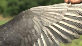 Ornitolog pokazuje skrzydło ptasi pospolity kestrel Falco tinnunculus zbiory wideo