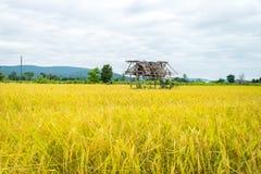 Oro amarillo del arroz en Tailandia Imagen de archivo