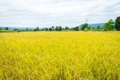 Oro amarillo del arroz en Tailandia Foto de archivo libre de regalías