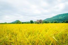 Oro amarillo del arroz en Tailandia Fotografía de archivo libre de regalías