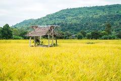 Oro amarillo del arroz en Tailandia Imágenes de archivo libres de regalías