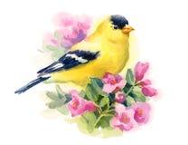 Oro americano Finch Bird sul ramo con l'illustrazione di caduta dell'acquerello dei fiori dipinta a mano Fotografia Stock Libera da Diritti