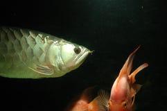 Oro Arowana subacuático Fotografía de archivo libre de regalías