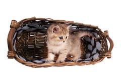 Oro británico del color del gatito de las chinchillas del shorthair sombreado en un tomar el sol Imagenes de archivo