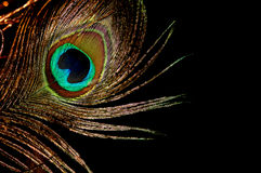 Oro de la pluma del pavo real imágenes de archivo libres de regalías