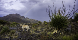 Oro de Labradoodle debajo del arco iris fotografía de archivo libre de regalías