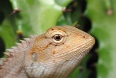 Oro del camaleonte fotografia stock libera da diritti