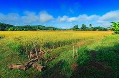 Oro del campo de maíz Imagen de archivo libre de regalías
