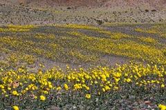 Oro del deserto Fotografia Stock