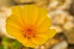 Oro del desierto Imagenes de archivo