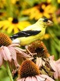 Oro del este Finch Feeding del primer en un Coneflower Foto de archivo