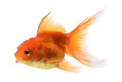 Oro del pesce su fondo Fotografie Stock Libere da Diritti