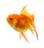 Oro del pesce su fondo bianco Immagine Stock